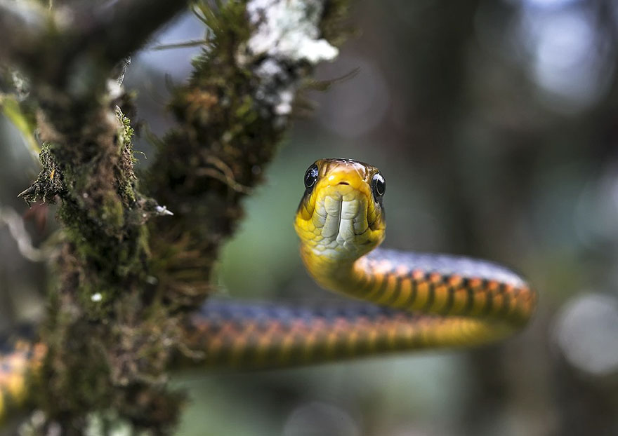 Yellow-flecked Sipo, Natural World Finalist