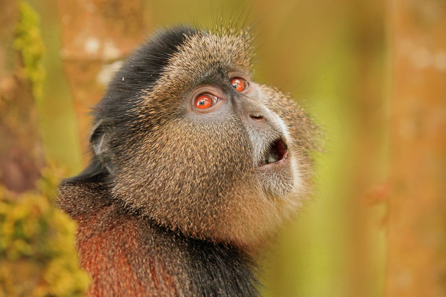 Golden Monkey Surveying The Area, Sustainable Travel Finalist