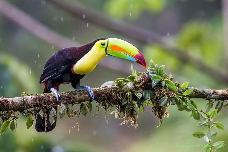 Keel-billed Toucan, Sustainable Travel Finalist