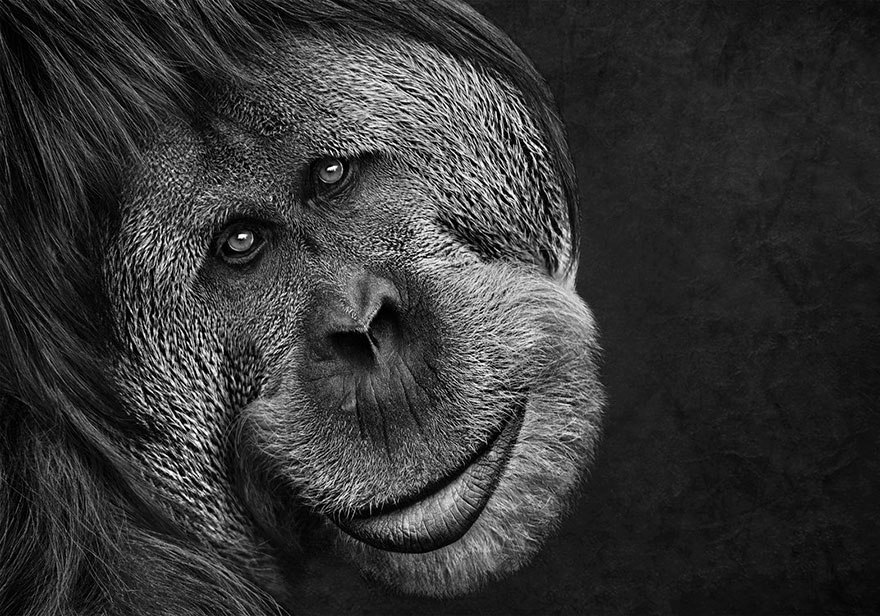 Orangutan, Altered Images Finalist