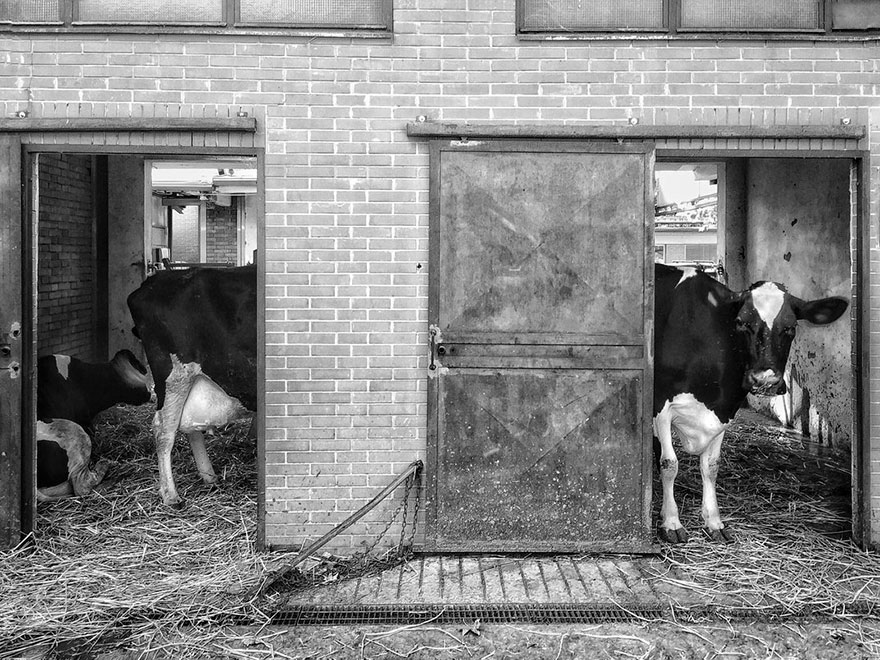 Long Cow, Mobile Finalist