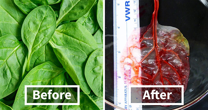Scientists Transform Spinach Leaves Into Working Human Heart Tissue