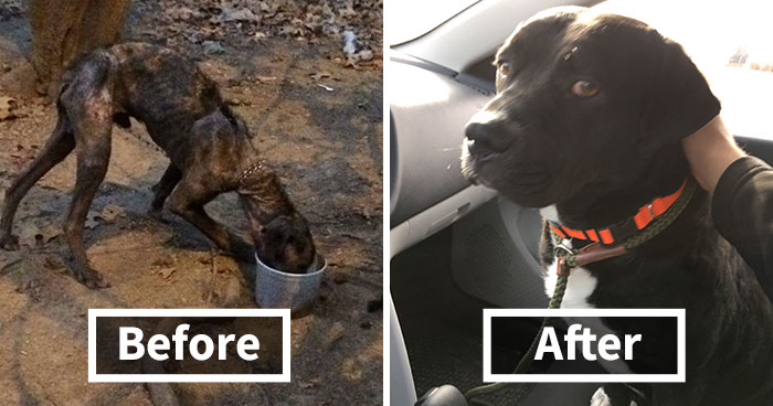Dying Dog Chained For 4 Years Finds Forever Home, And This Is How Love Transformed Him
