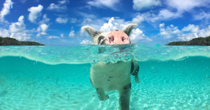 Bahamas Swimming Pigs Found Dead After Tourists Gave Them Alcohol