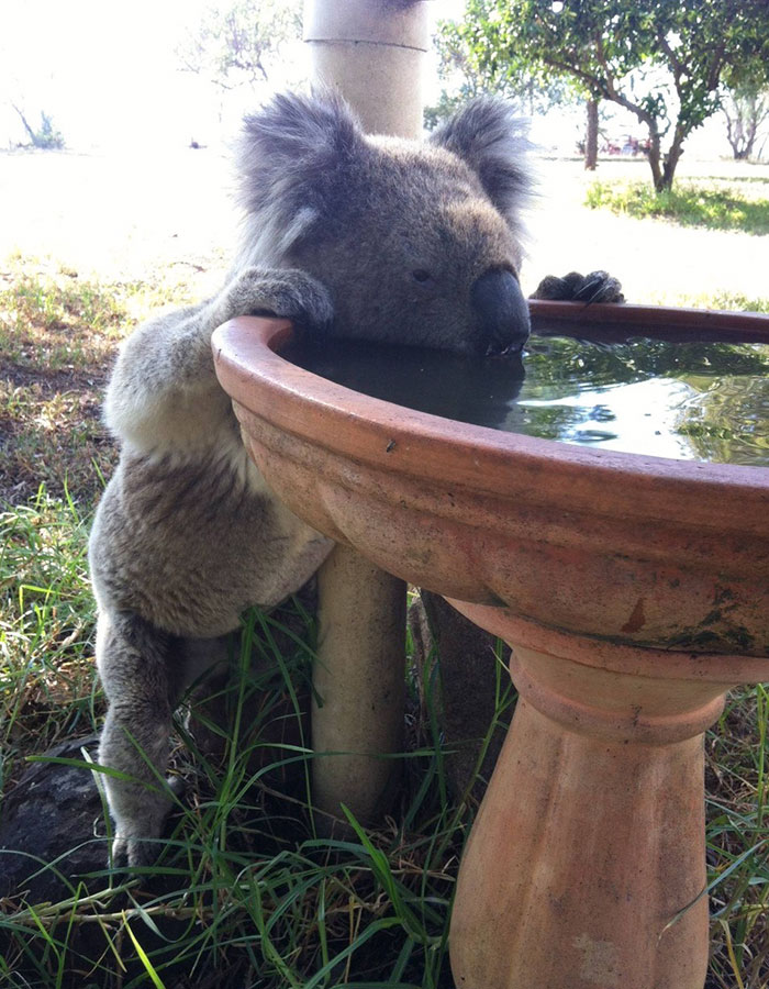 thirsty-koalas-drinking-stations-australia-1