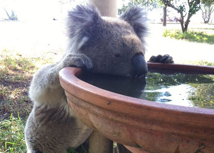 Koalas Are Dying Of Thirst, So This Farmer Came Up With A Brilliant Solution To Help Them
