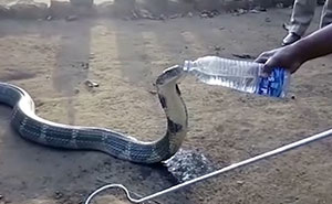 Desperately Thirsty Massive Cobra Is Given A Water Bottle