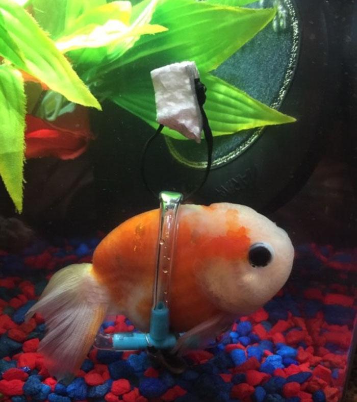 tiny-goldfish-wheelchair-taylor-dean-2