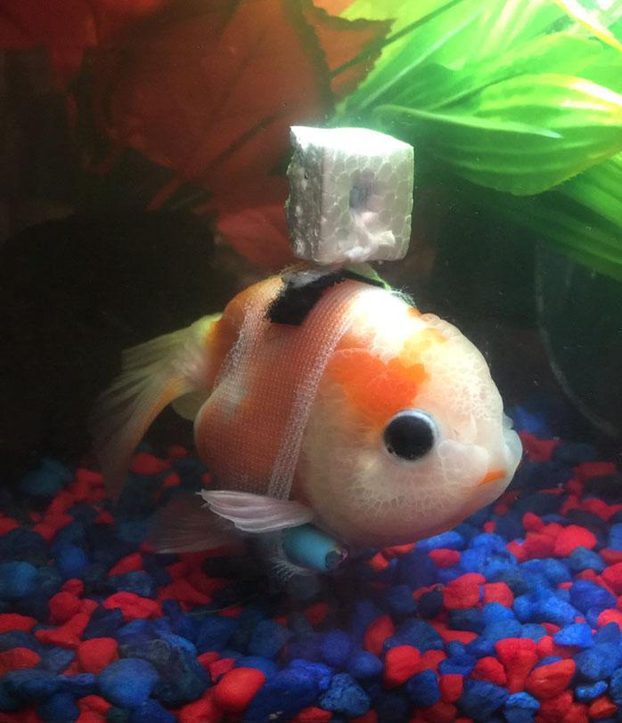 tiny-goldfish-wheelchair-taylor-dean-3