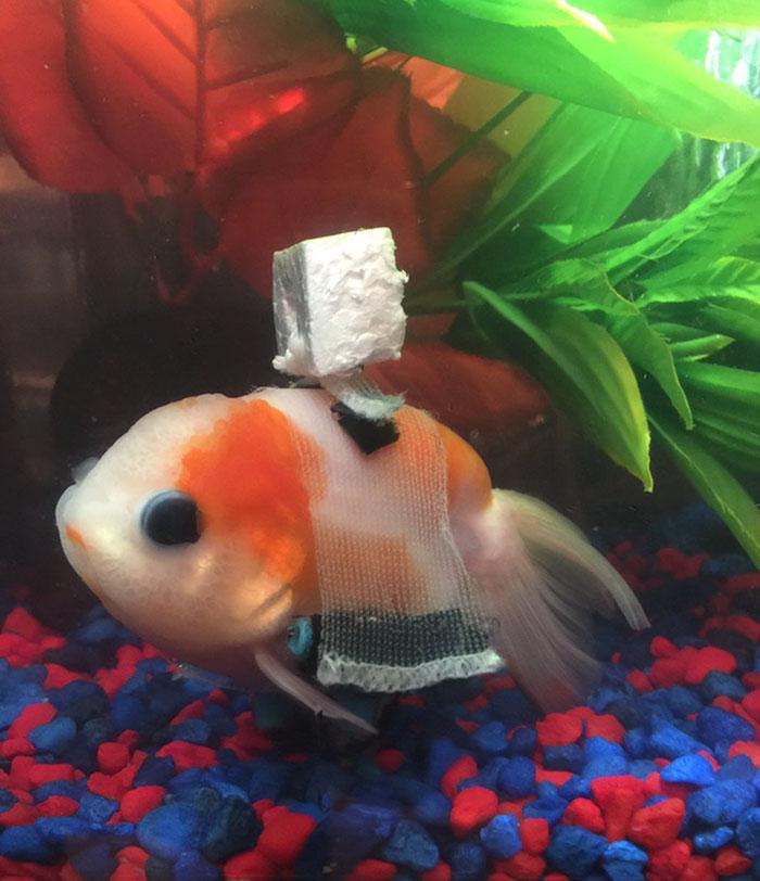 tiny-goldfish-wheelchair-taylor-dean-5