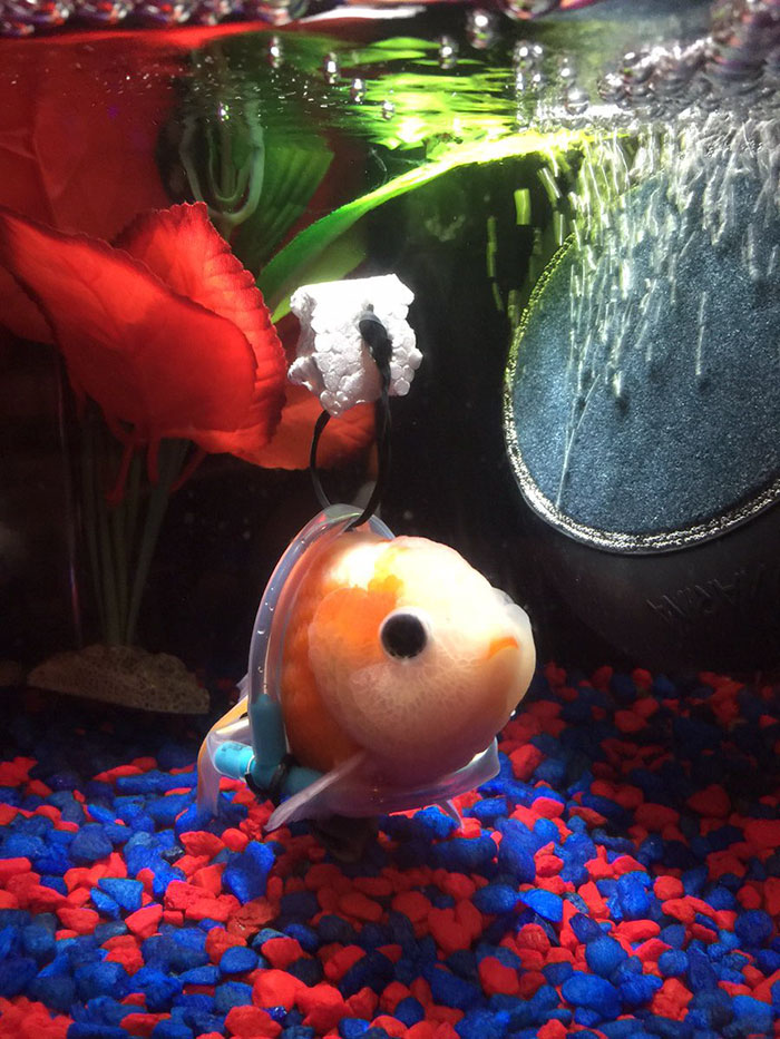 tiny-goldfish-wheelchair-taylor-dean-6