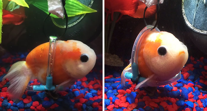 Sick Fish Couldn't Stay Afloat, So This Guy Built Him A Tiny Wheelchair