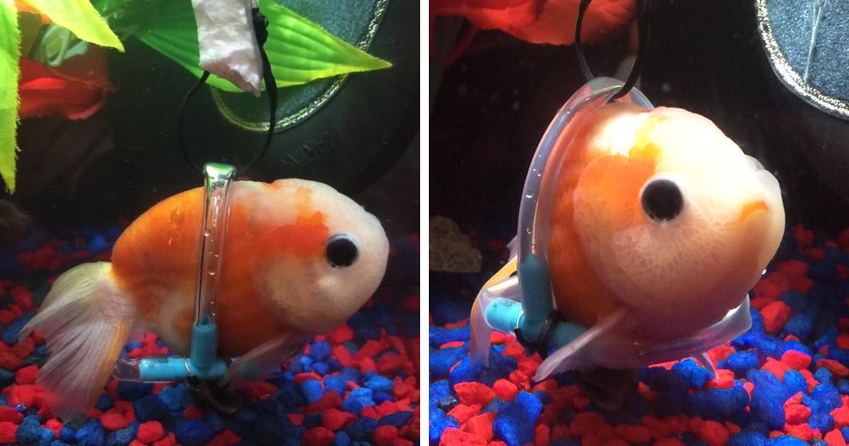 Macro of a tiny baby goldfish by Carolyn Lagattuta - Baby ...