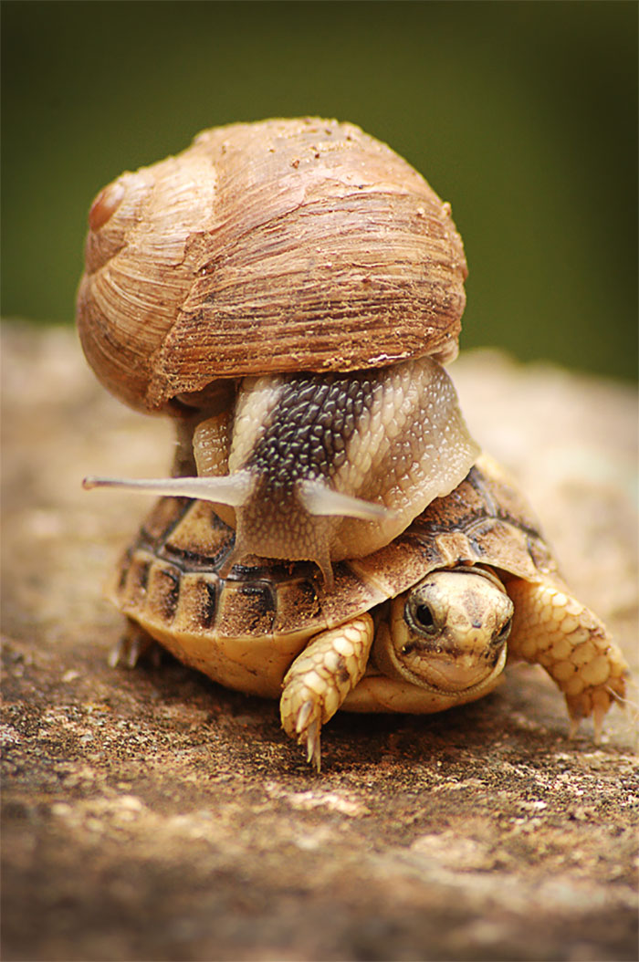 Snail Riding A Baby Turtle