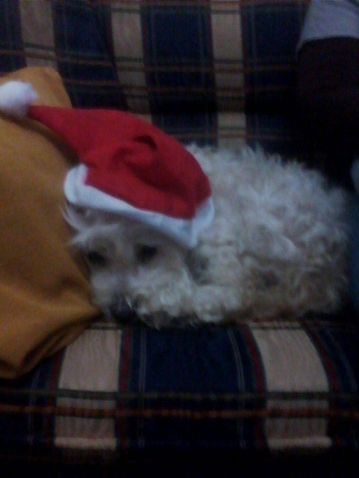 Pitty, The Santa Little Helper !