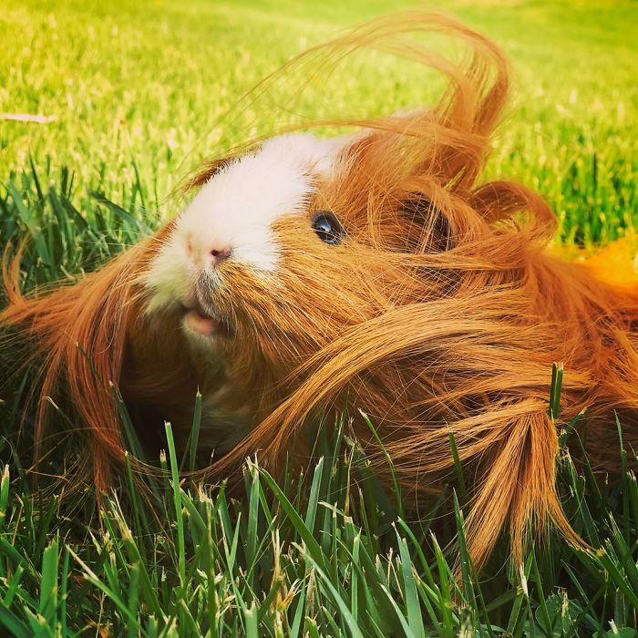 Long haired guinea pig - photo#32