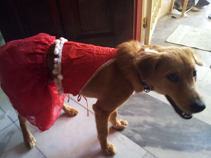 My Daughter Dressing Goldie In Her Old Santarina Costume.