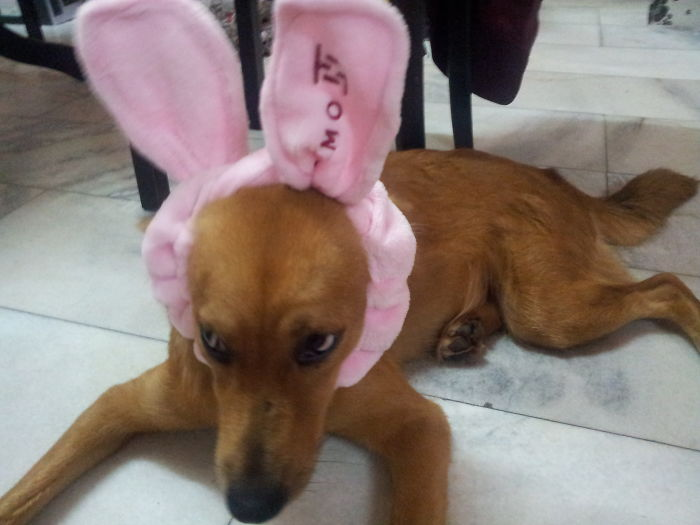 My Youngest Daughter Is Back… Now Giving Goldie A Pair Of Rabbit Ears…
