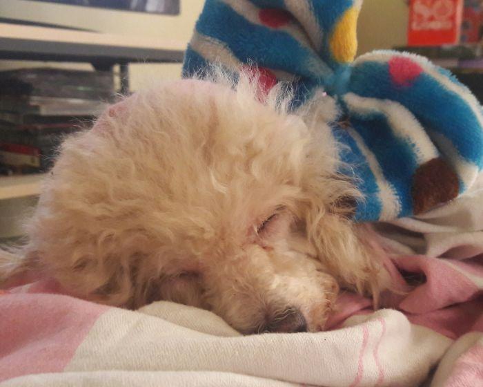 Princess Poodle Asleep Zzzzzz..