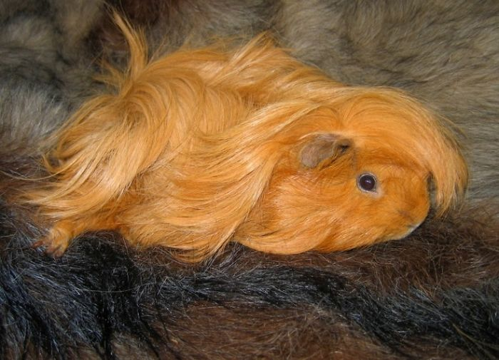 Long-haired-guinea-pigs