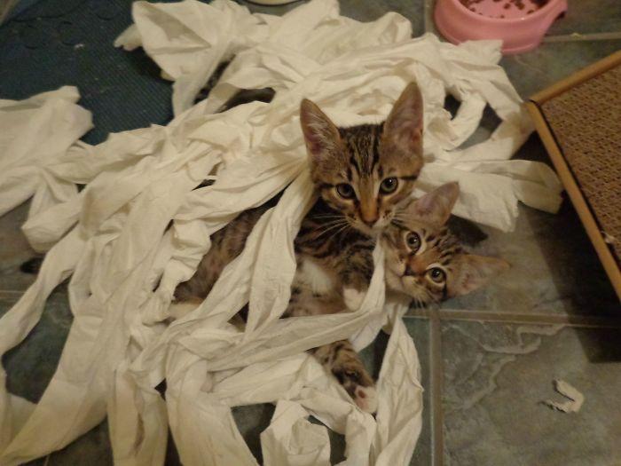 Mis nuevos gatitos han encontrado el papel higiénico