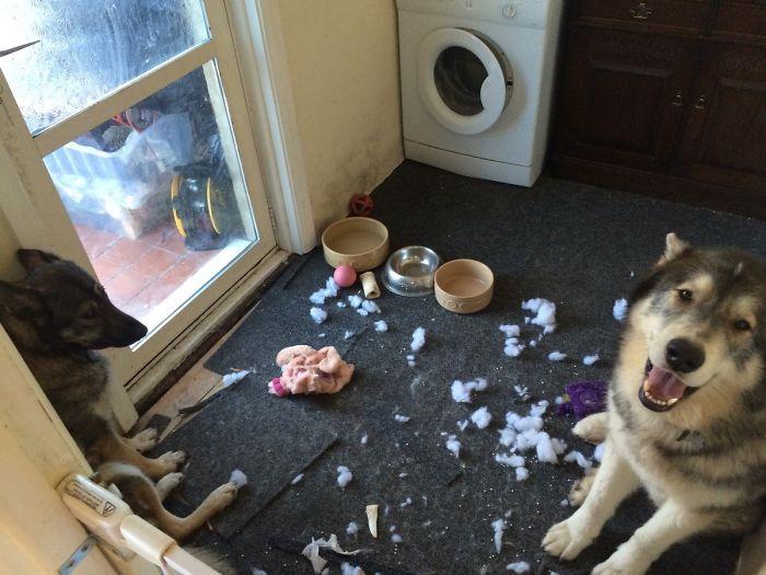 Me pregunto cuál de mis perros habrá destrozado el juguete