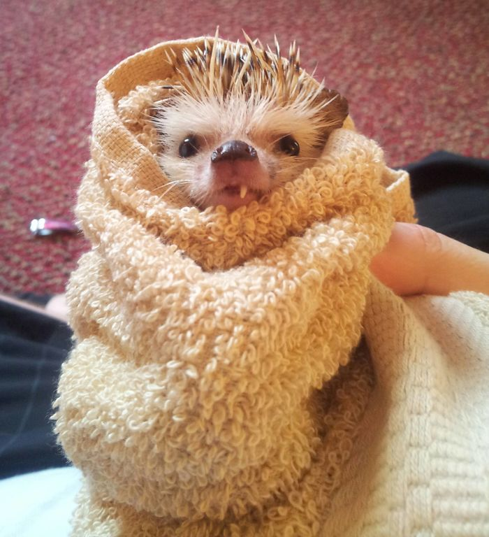 Hedgehog After His Bath Last Night