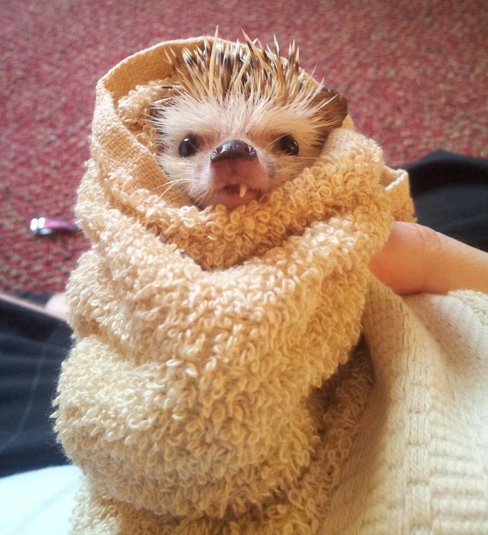 Hedgehog After His Bath Last Night