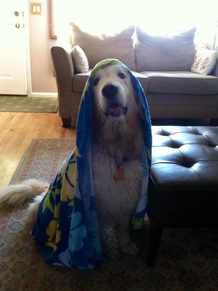 My Golden Retriever After A Bath