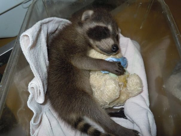 Teddy Bears Are Well-Known Wildlife Rehab Tools