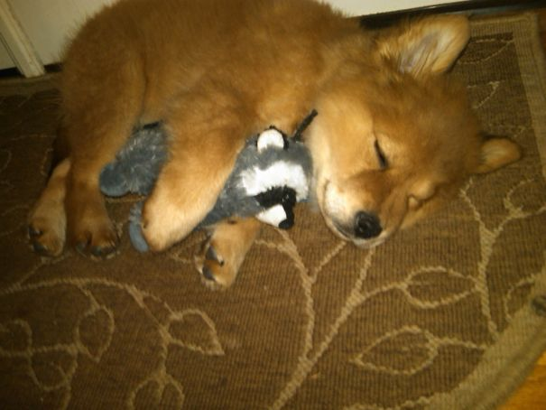 Just A Puppy That Looks Like A Fox Cuddling With A Raccoon Toy