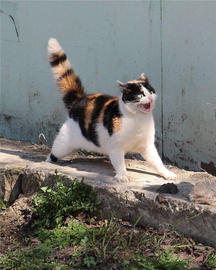 Gato megadramático