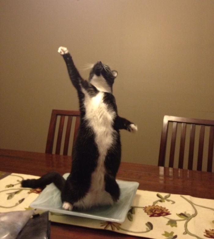 Gato triunfante