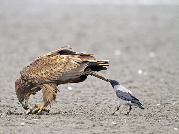 Crows Like To Pull Tails. Some Think It's To Distract Other Animals, Some Think It's For Fun