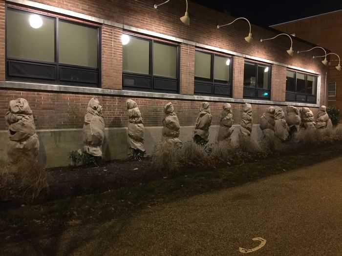 Shrubs Wrapped In Burlap To Protect Them From Winter Weather Look Like Hostages Taking Their Final Pee