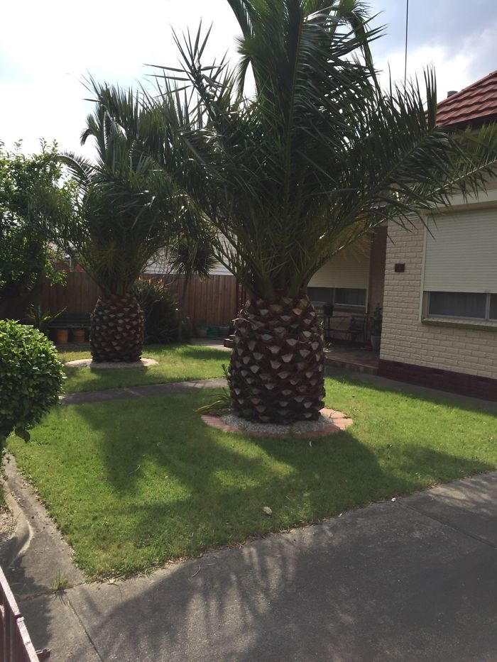 Trees In My Street Look Like Giant Pineapples