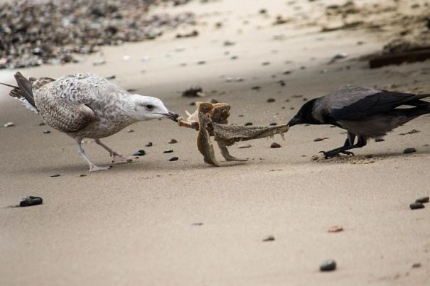 Seagull Vs. Crow