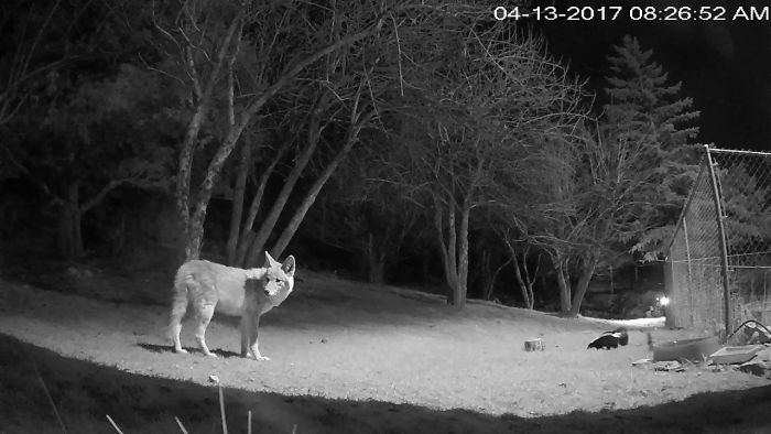 Skunk Charges Coyote.