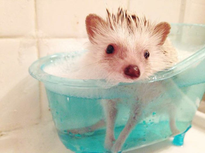 Rub A Dub Dub One Hedgie In The Tub