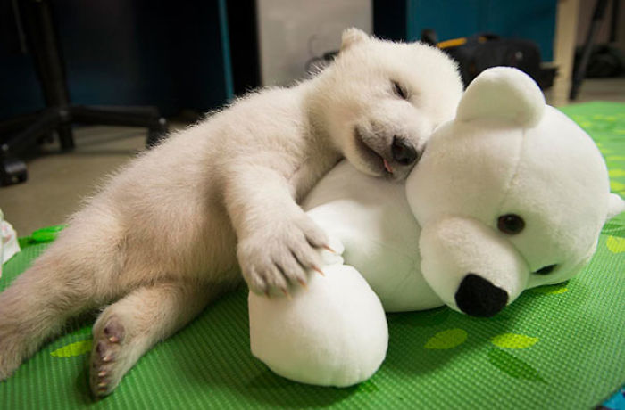 Polar Bear Cub Snuggling With Her Stuffed Friend