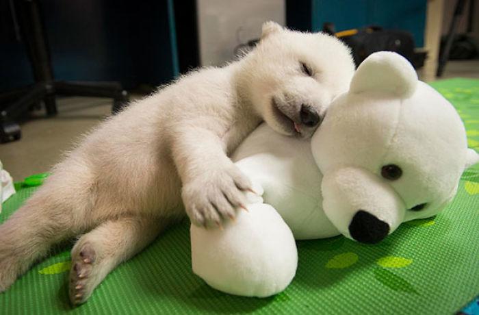 Osezno polar con su mejor amigo