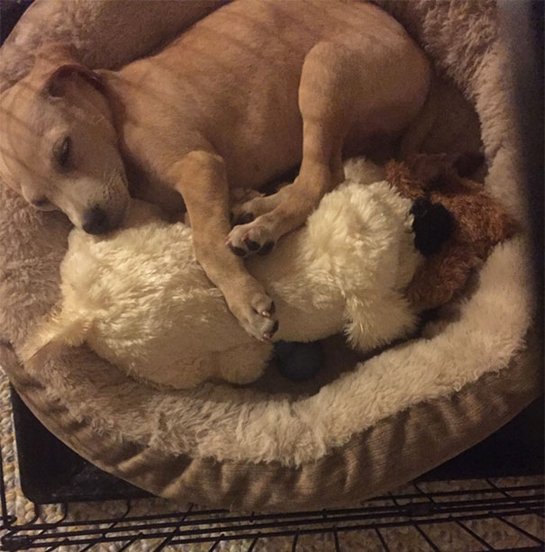 My Sister Got Her New Puppy A Stuffed Dog That Has A Heartbeat. He Started Playing With It And Suddenly Heard The Heartbeat, Stopped, And Snuggled Up To It And Fell Asleep