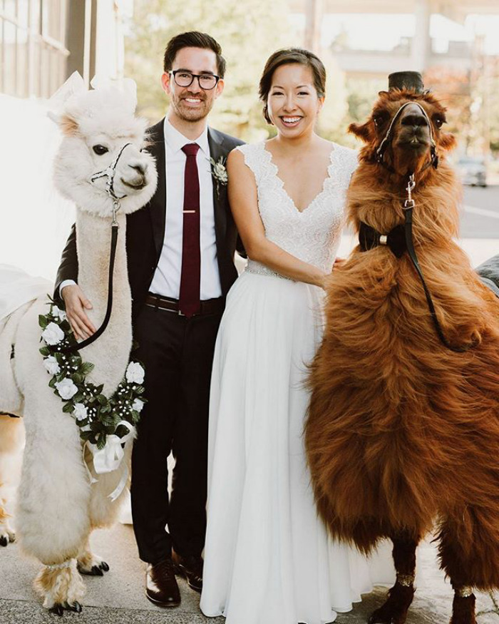 Llamas At The Wedding