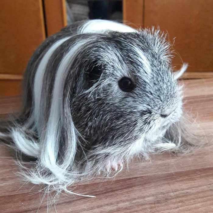 Long haired guinea pig - photo#43