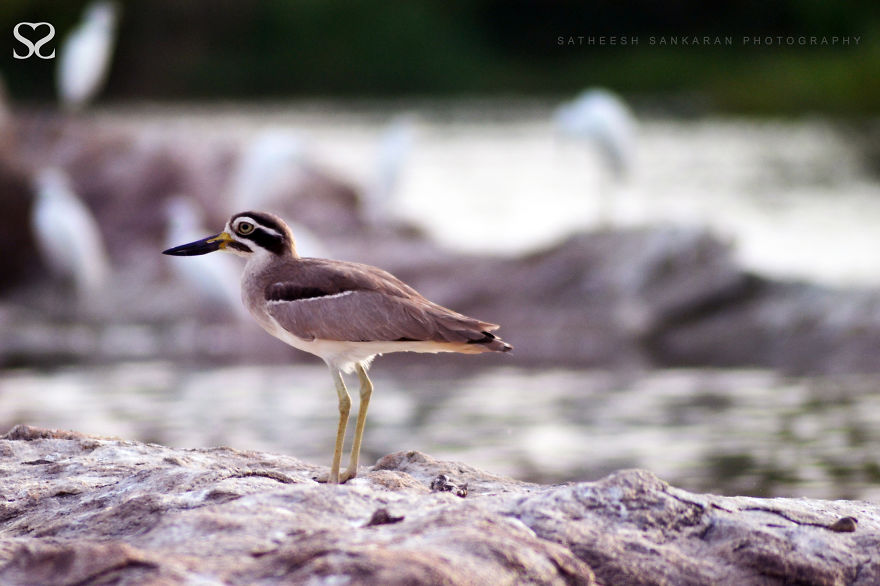 Great Stone-Curlew Or Great Thick-Knee (Esacus Recurvirostris)