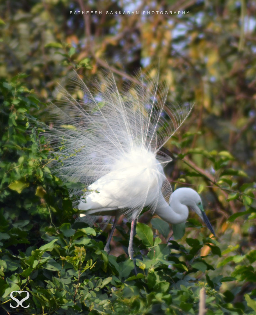 Intermediate Egret In Breeding Plumage