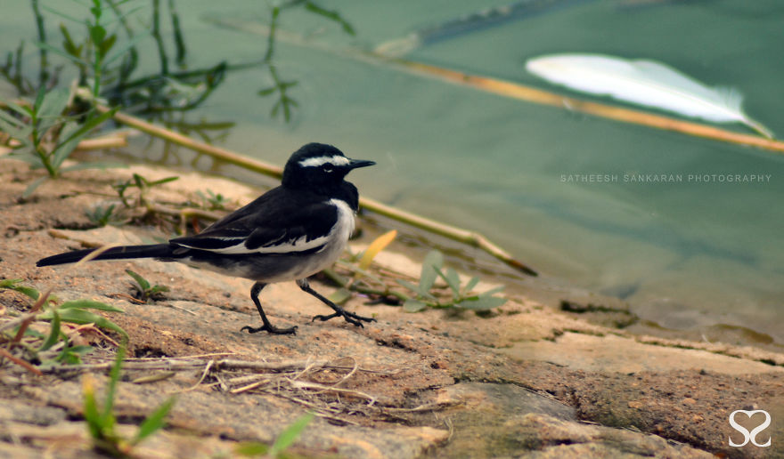 White Browed Wagtail