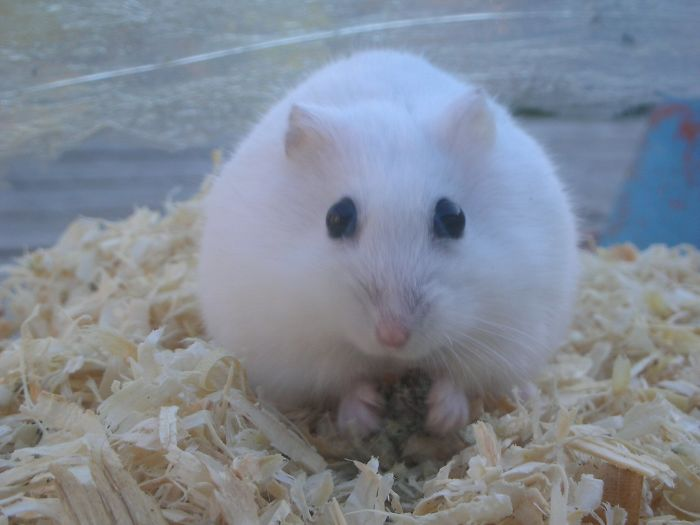 Snowball The Hamster