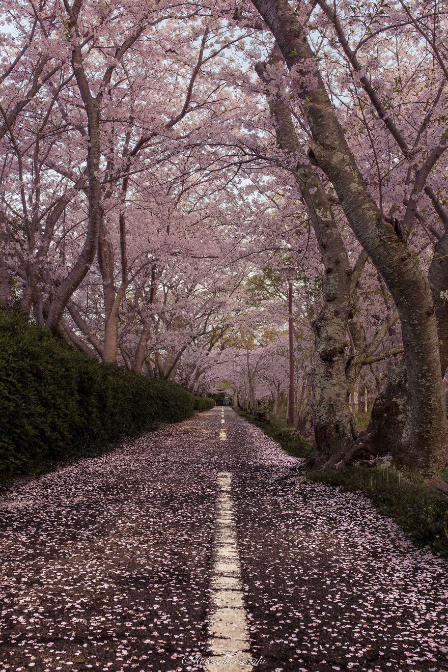 I Captured Sakura Bloom In Japan