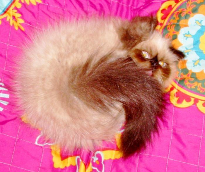 My Himalayan Kitten Koa